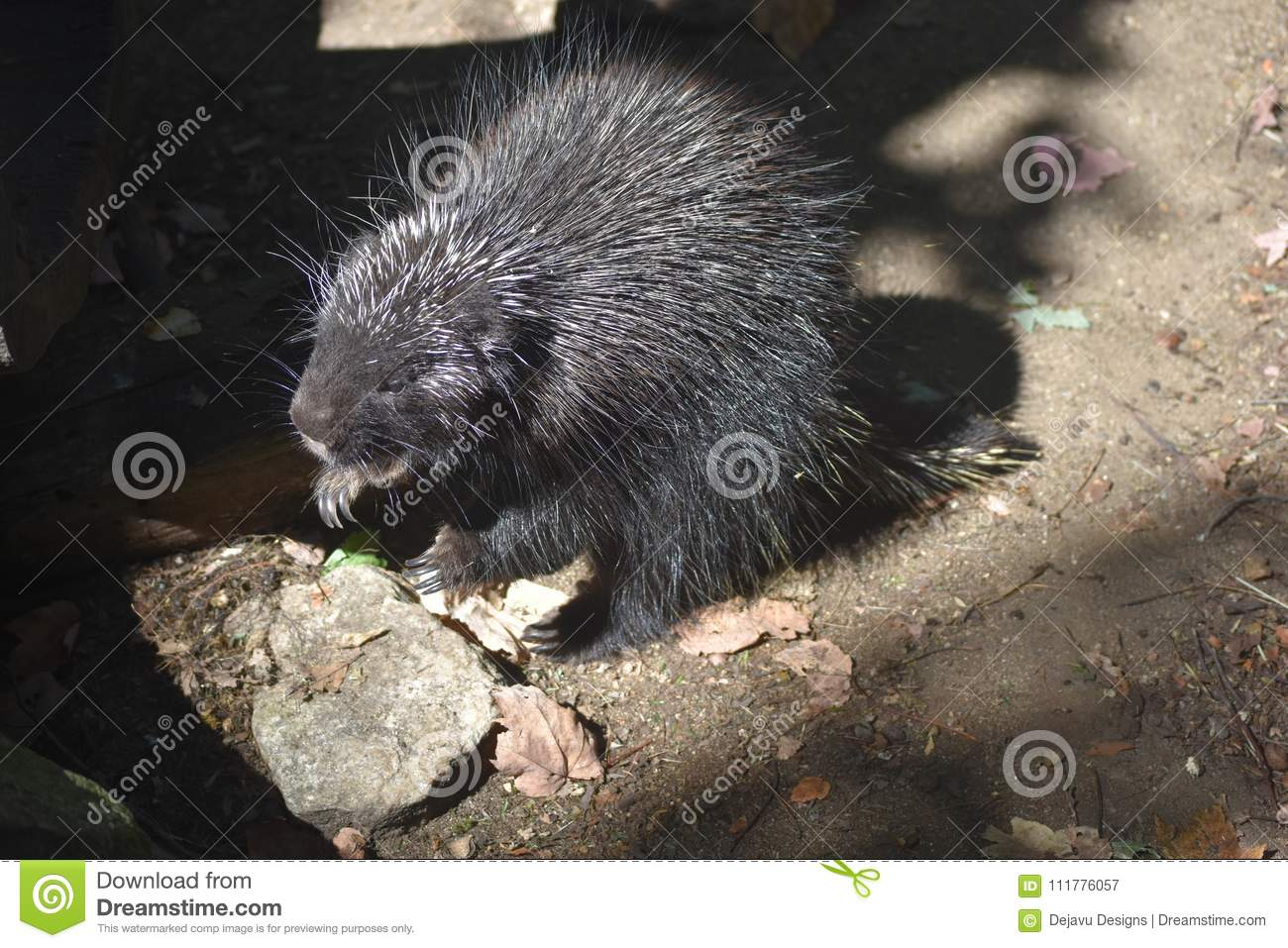 Large black porcupine on its hind legs with an open mouth