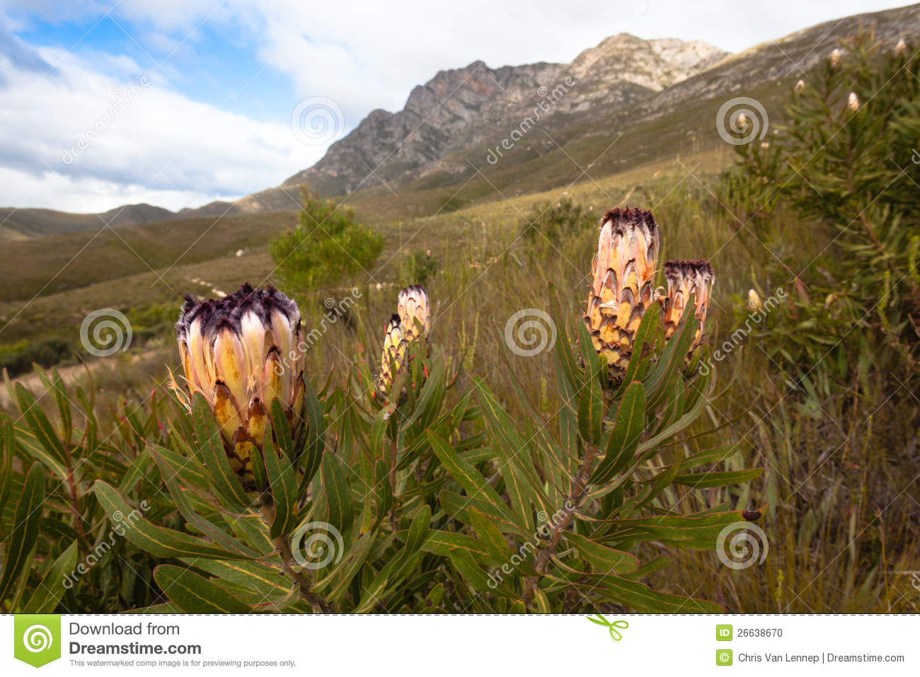 Wild Protea Flowers South Africa