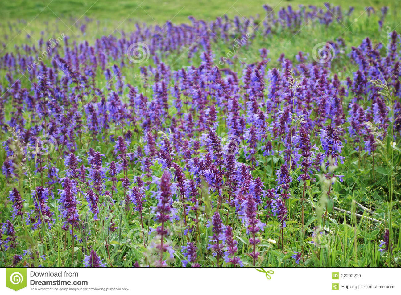 wild purple flowers stock photo  image, Beautiful flower