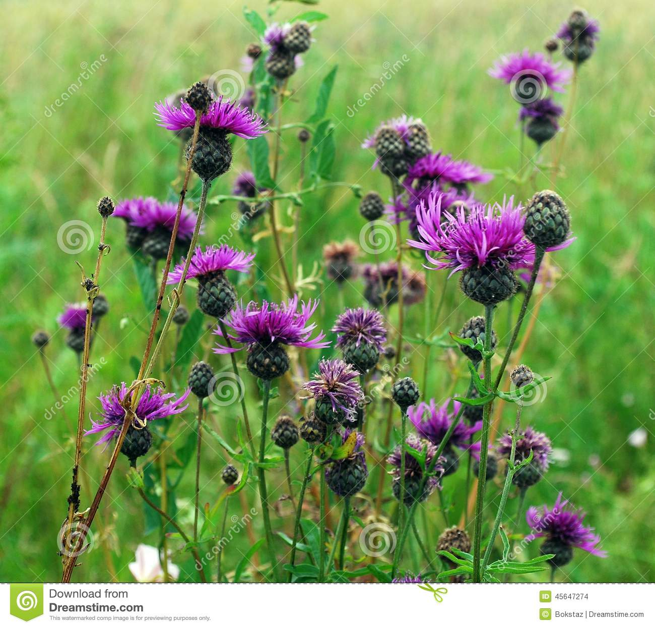 wild purple flowers in the grass stock photo  image, Beautiful flower