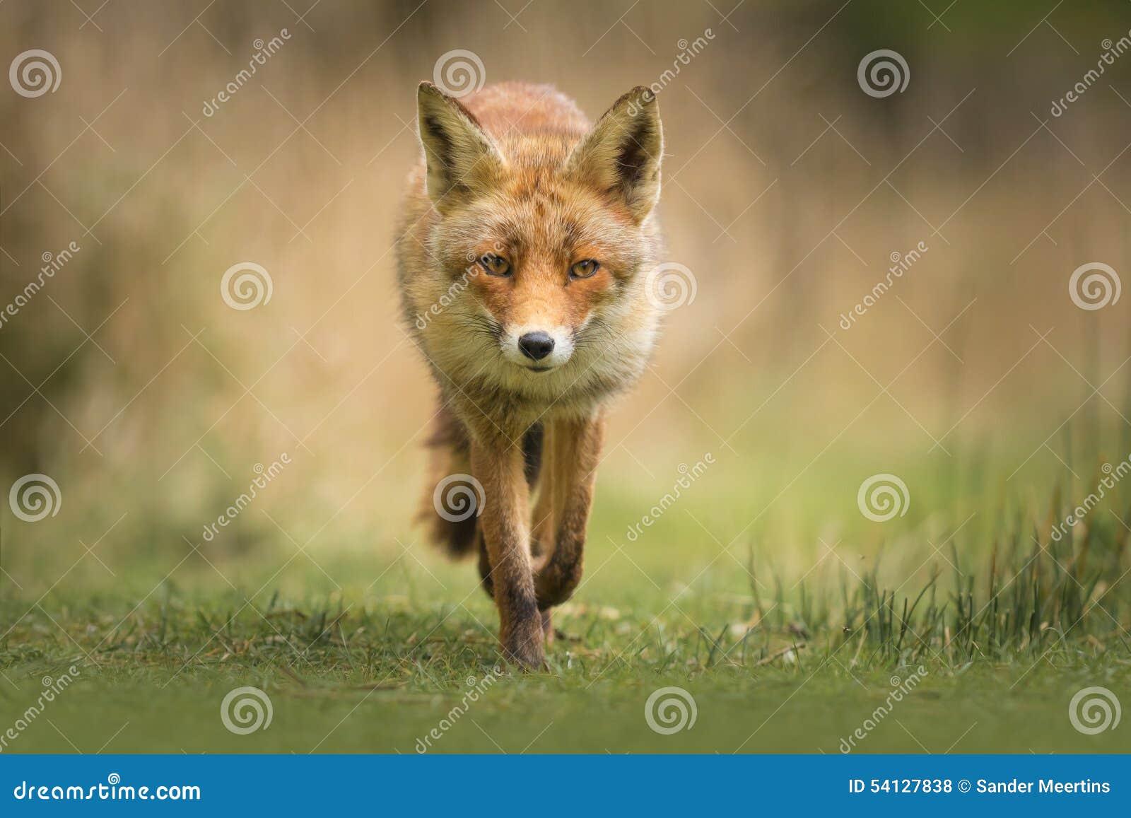 Wild röd räv