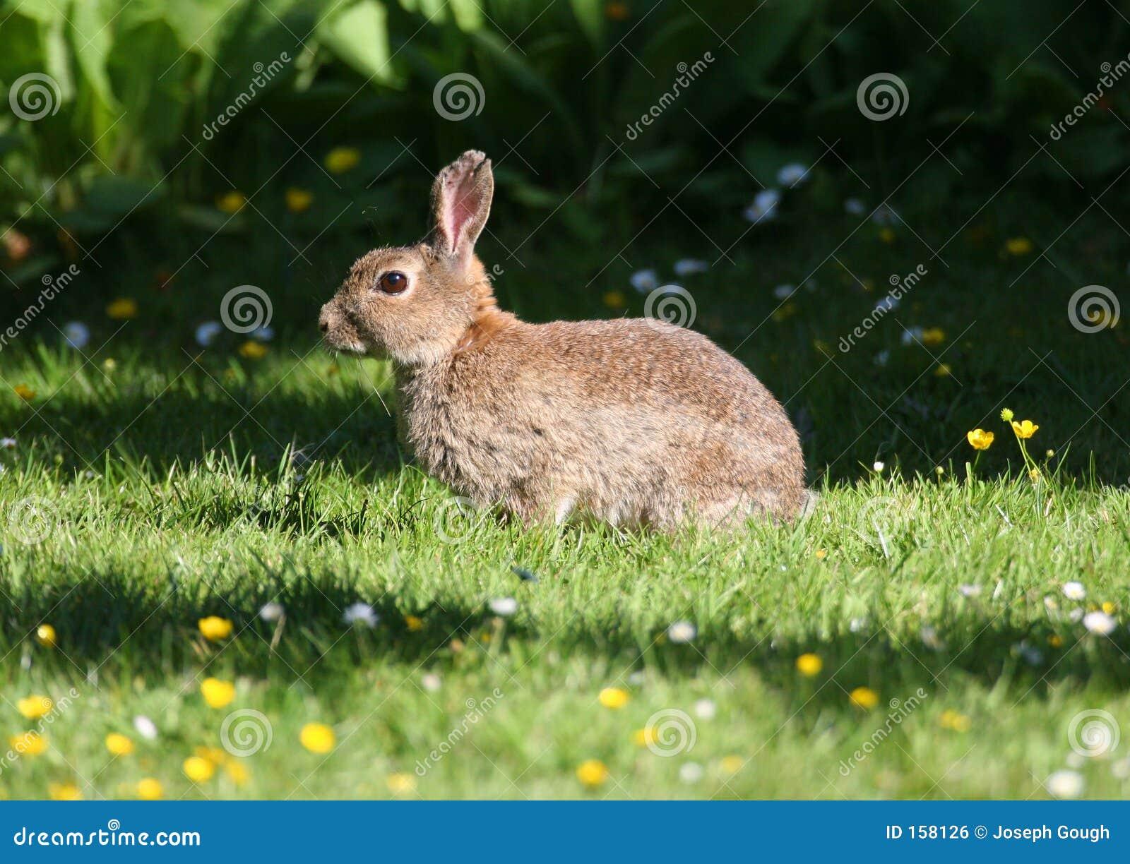 Wild Rabbit in Grass Meadow