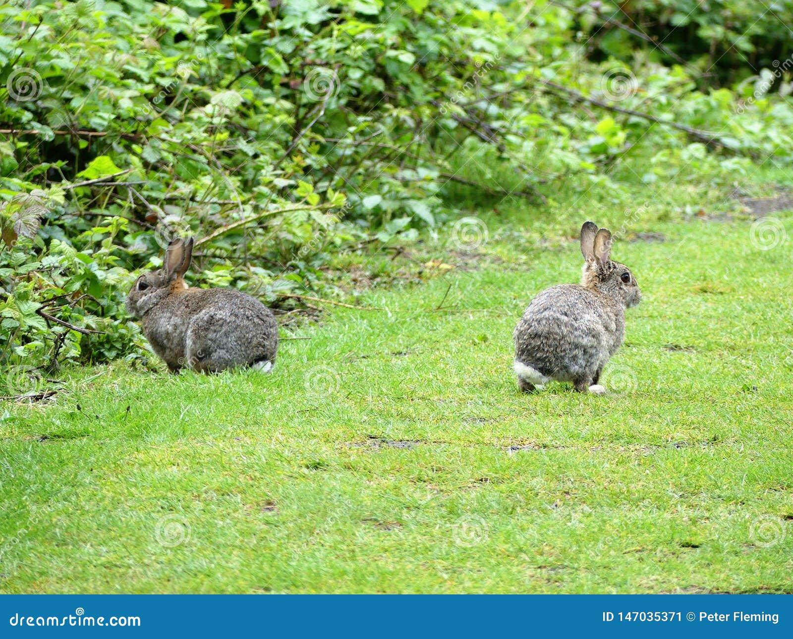 Wild rabbits on Chorleywood Common