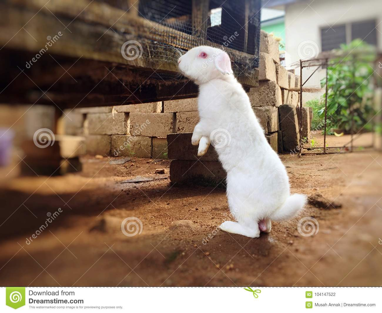 Wild Rabbits Standing On Two Legs And Alert Stock Photo - Image of