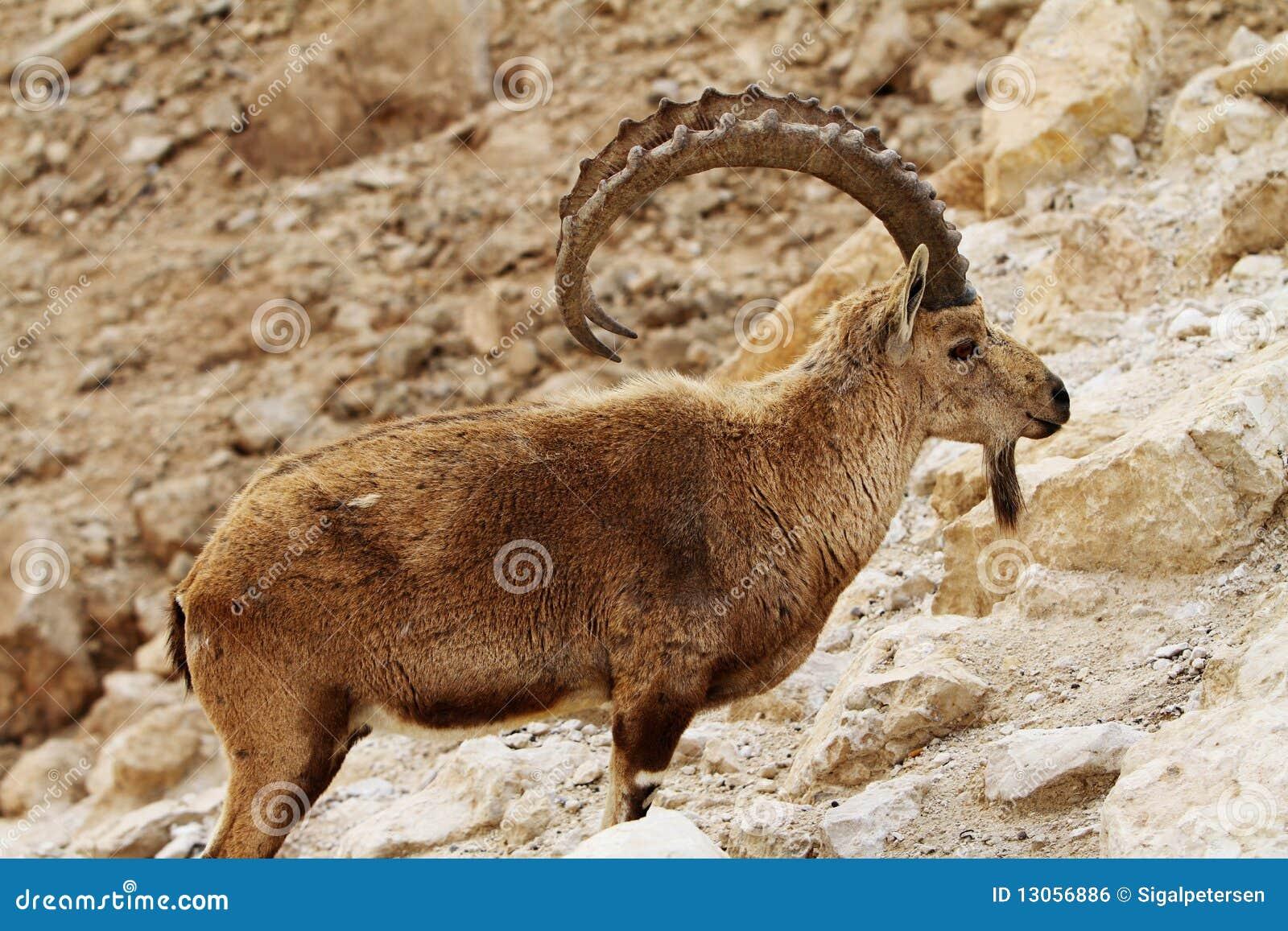 Ram steenbok en Steenbok man