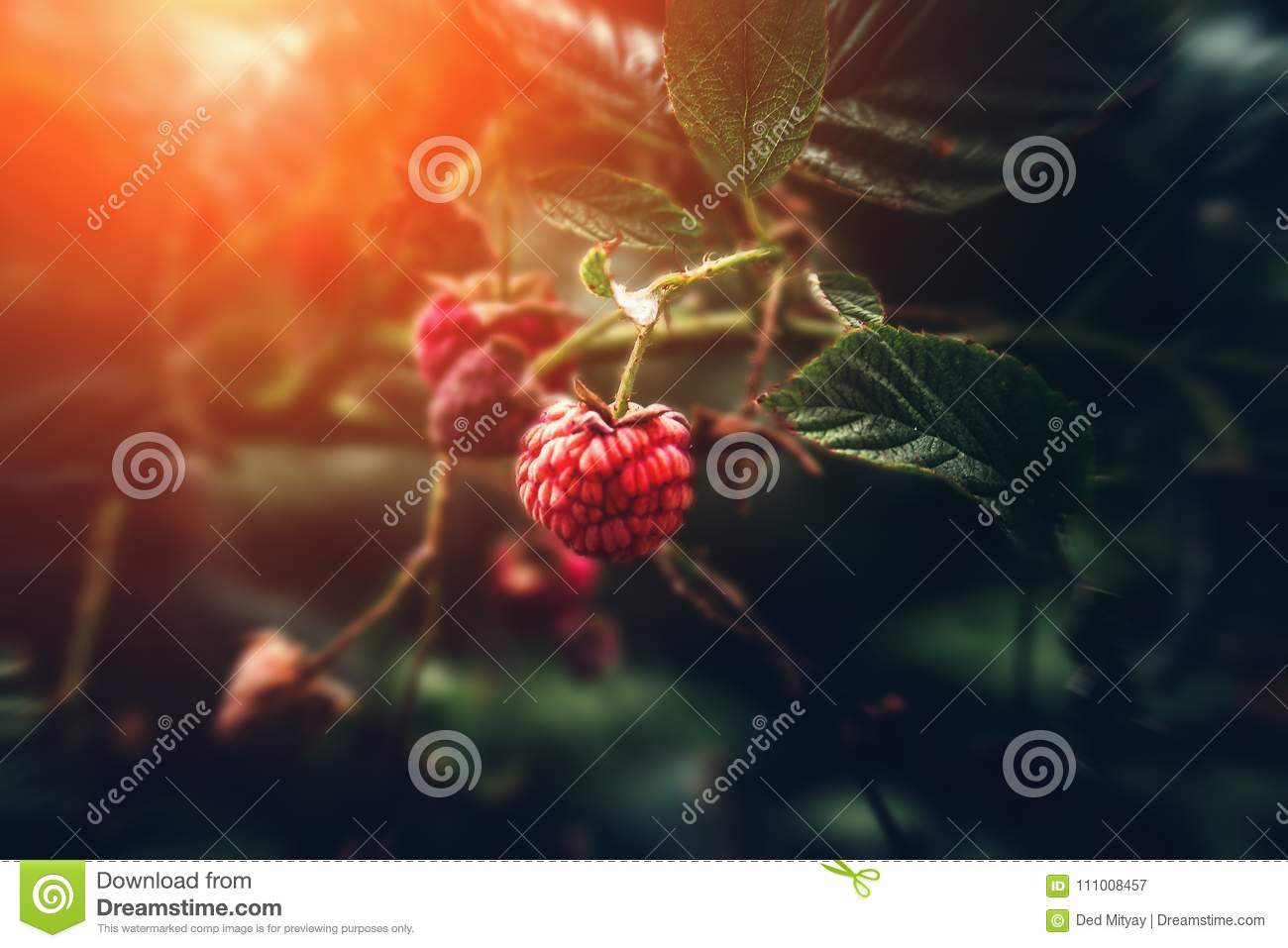 Wild raspberry on branch in nature forest, macro shot with selective focus, sunlight and toned