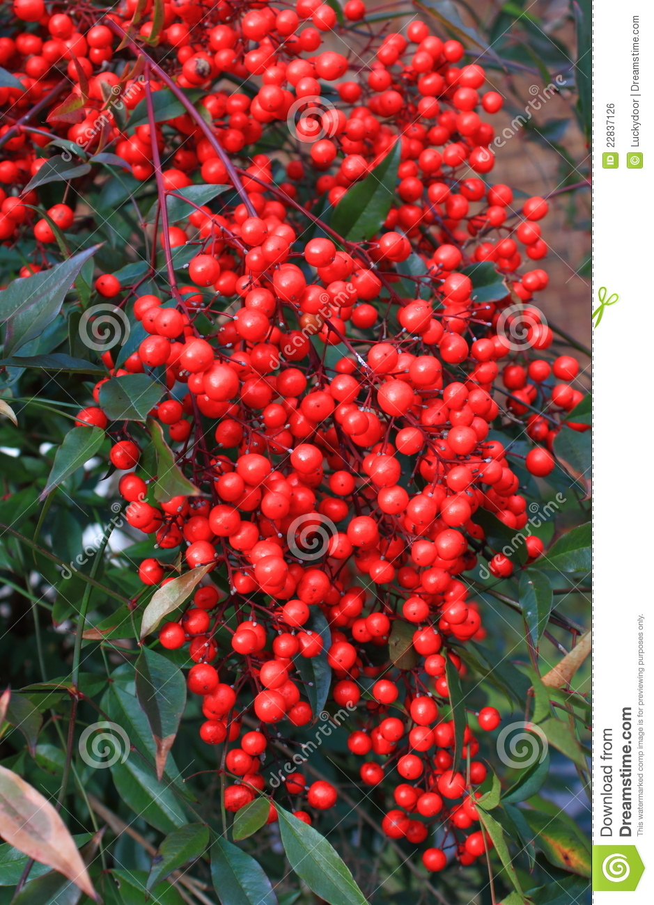 Wild Red Berry Stock Photo Image Of Cluster Autumn 22837126