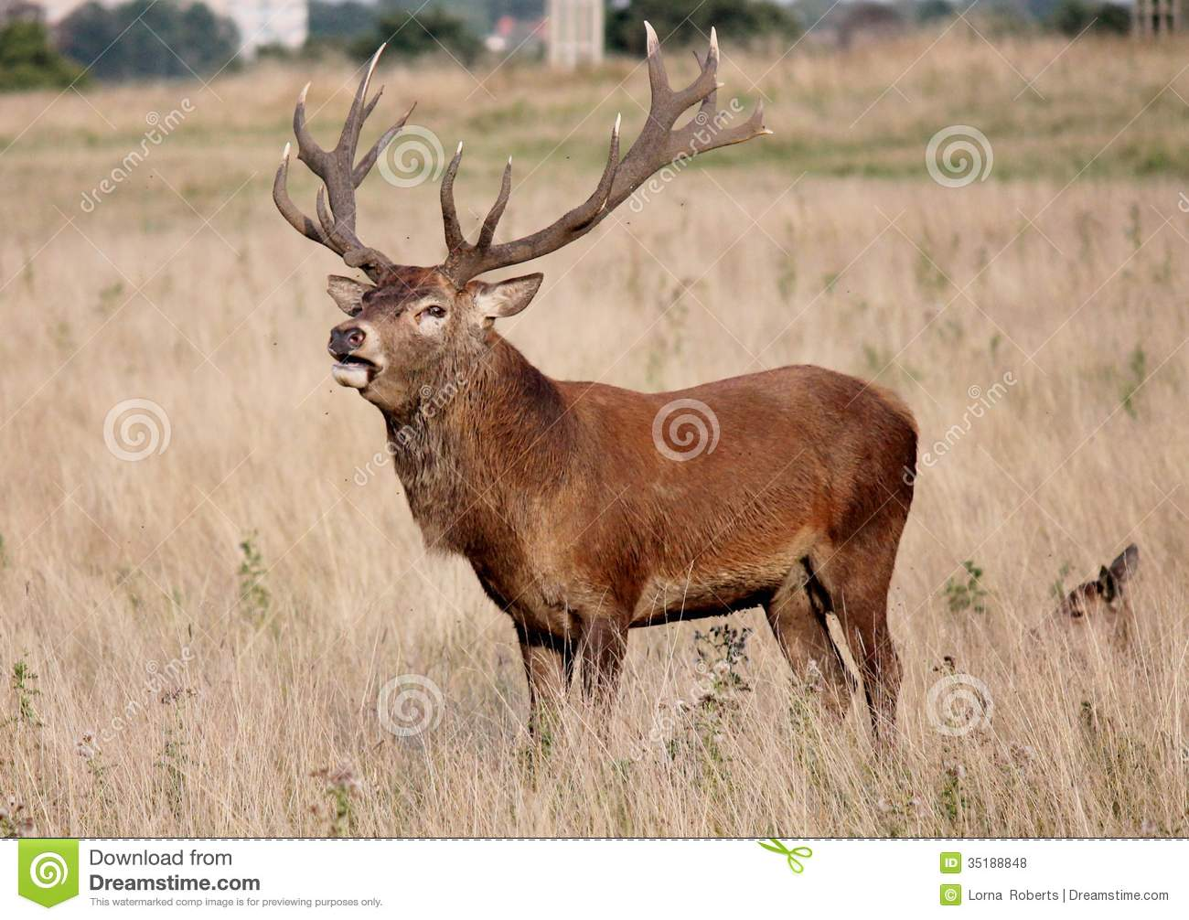 Landscaping Ties Red Deer : Wild red deer stag in bushy park royalty free stock photos image