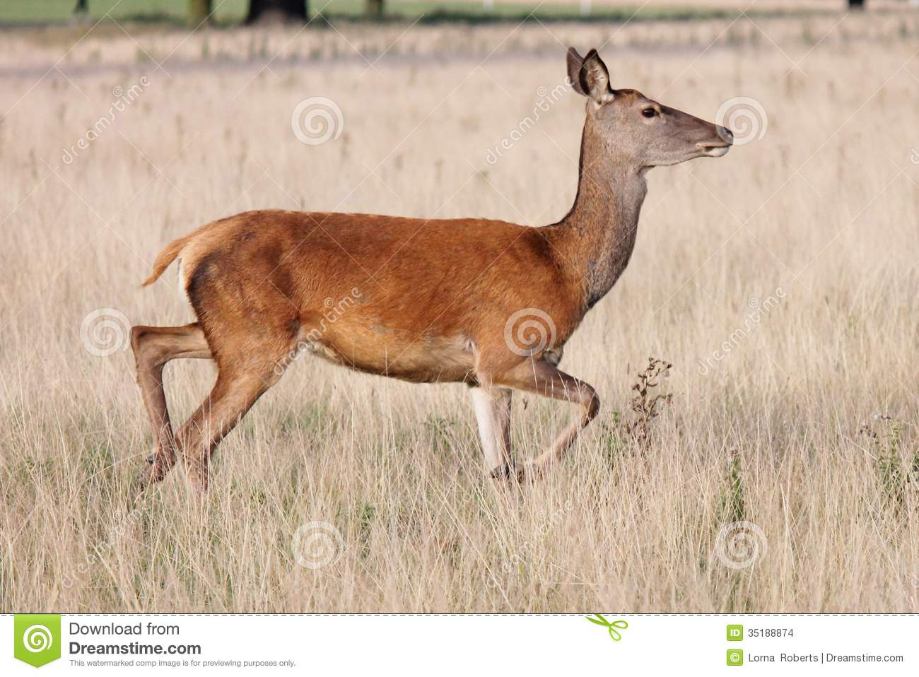 Landscaping Ties Red Deer : Fallow deer stag portrait in autumn foggy morning royalty free stock photography cartoondealer