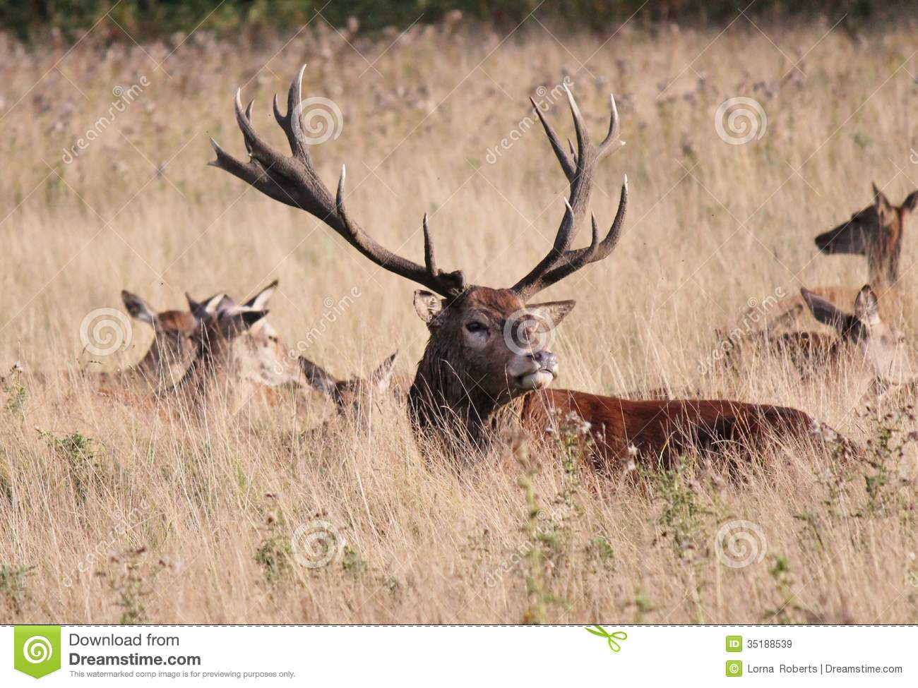 Landscaping Ties Red Deer : Wild red deer stag in bushy park england royalty free stock images image