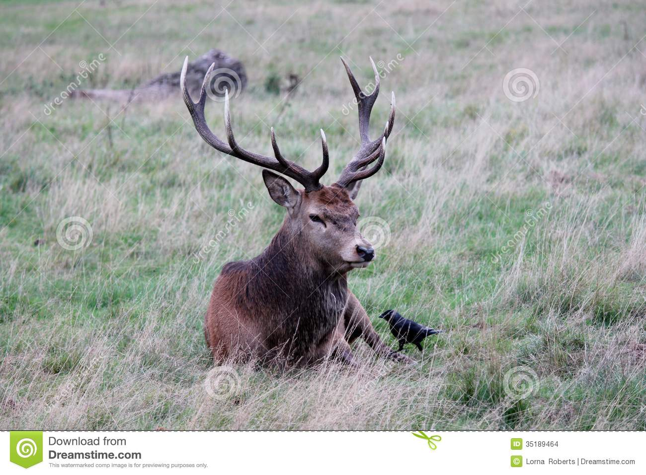 Red deer stag with antlers sitting in Bushy Park England