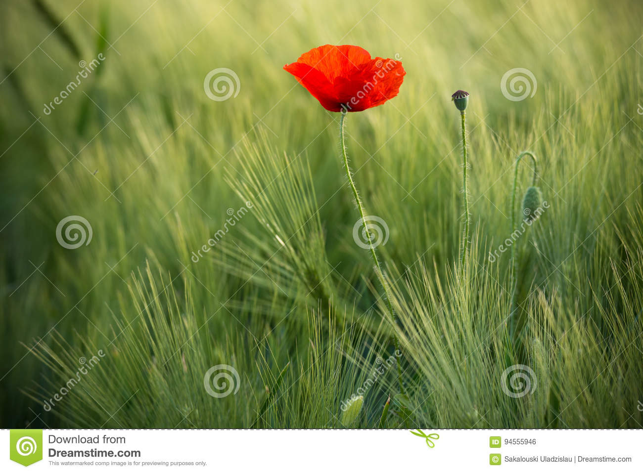 Wild Red Poppy, Shot With A Shallow Depth Of Focus, On A Green Wheat Field In The Sun. Lonely Red Poppy Close-Up Among Wheat. Pict