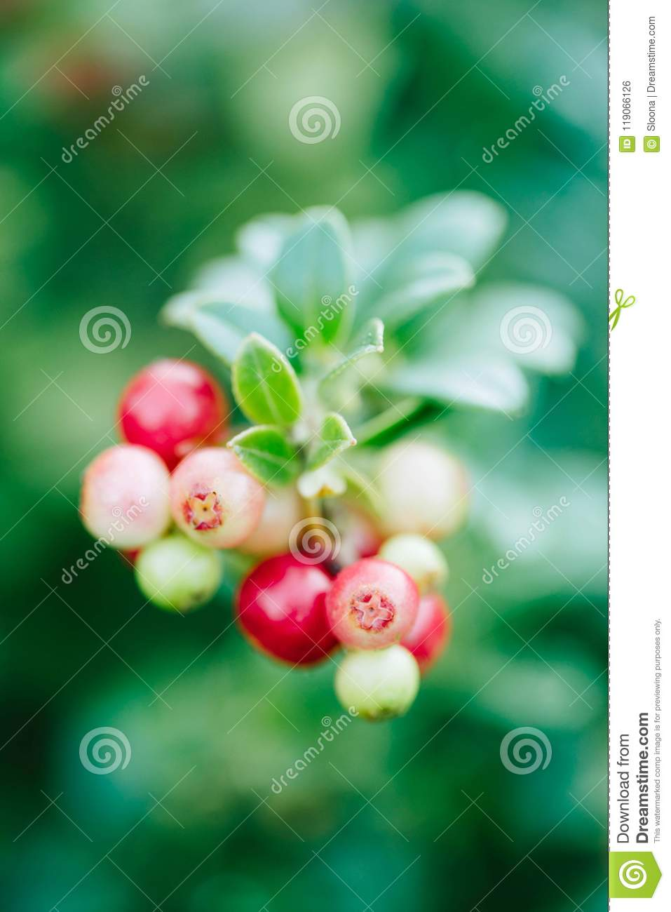 Wild red berries cowberry, foxberry, lingonberry with leaves closeup. Raw, organic materials fro skincare