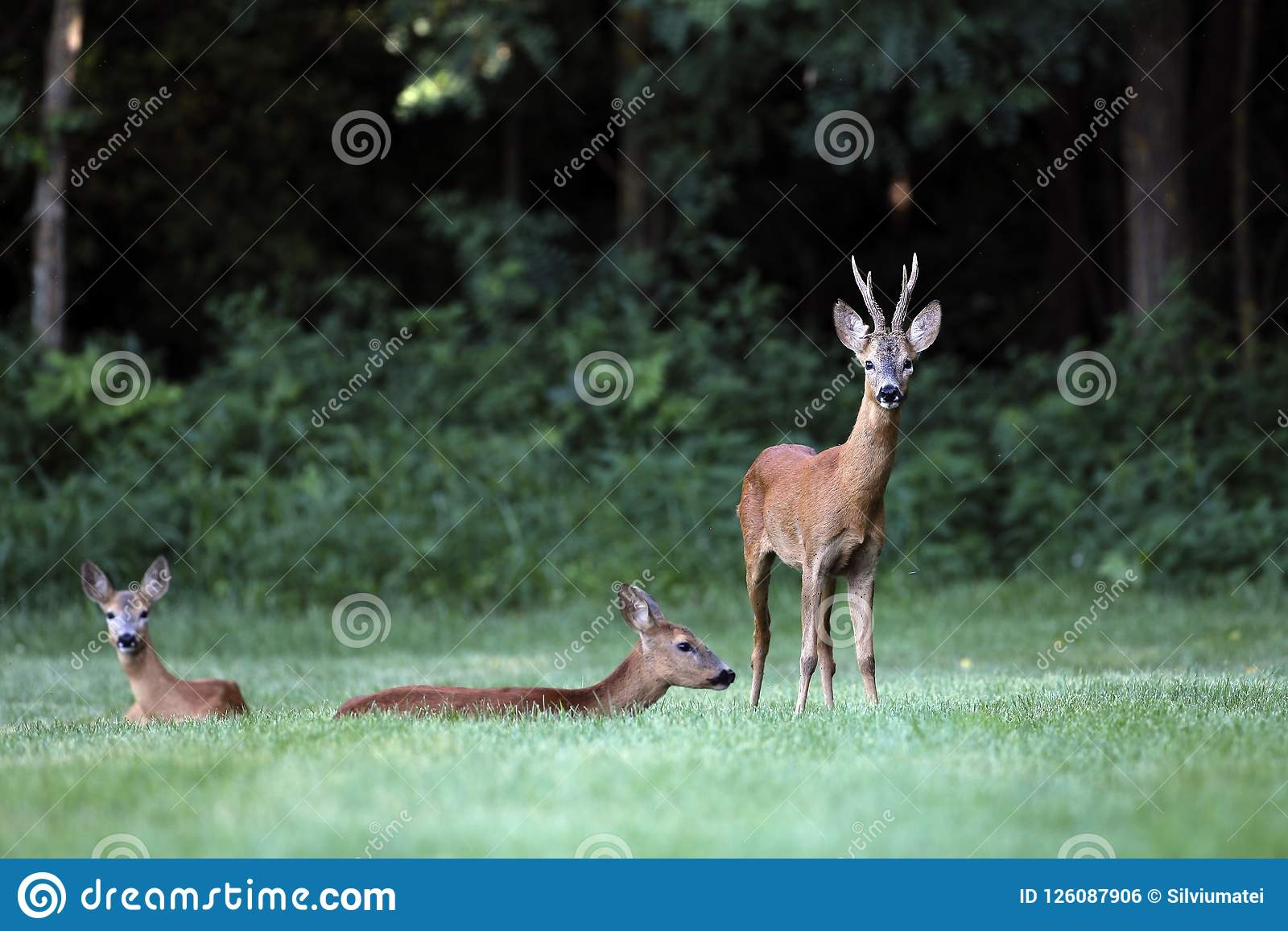 Wild roe deer,male and female standing in a grass field