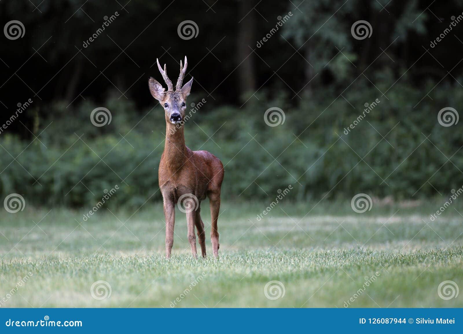 Wild roe deer& x28;male& x29; standing in a grass field