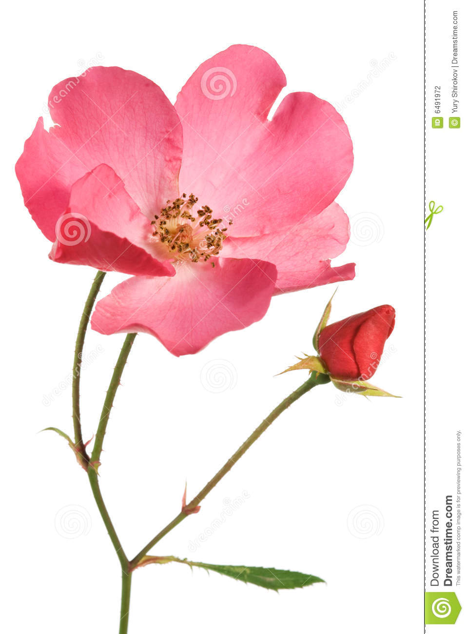 how to grow roses in sinhala