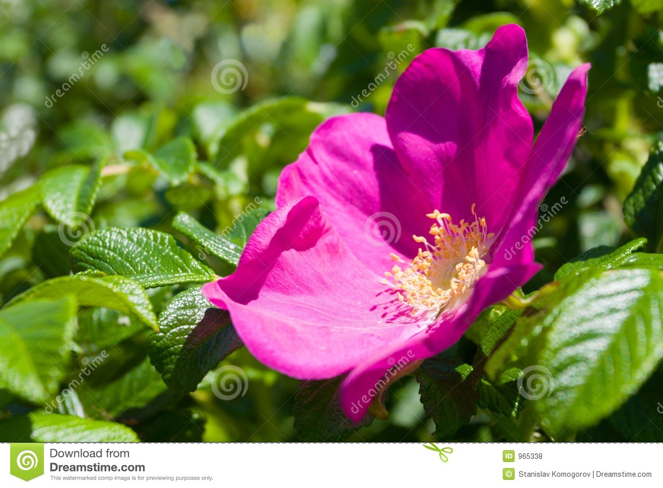 wild rose - briar stock photo  image of floral  bushes