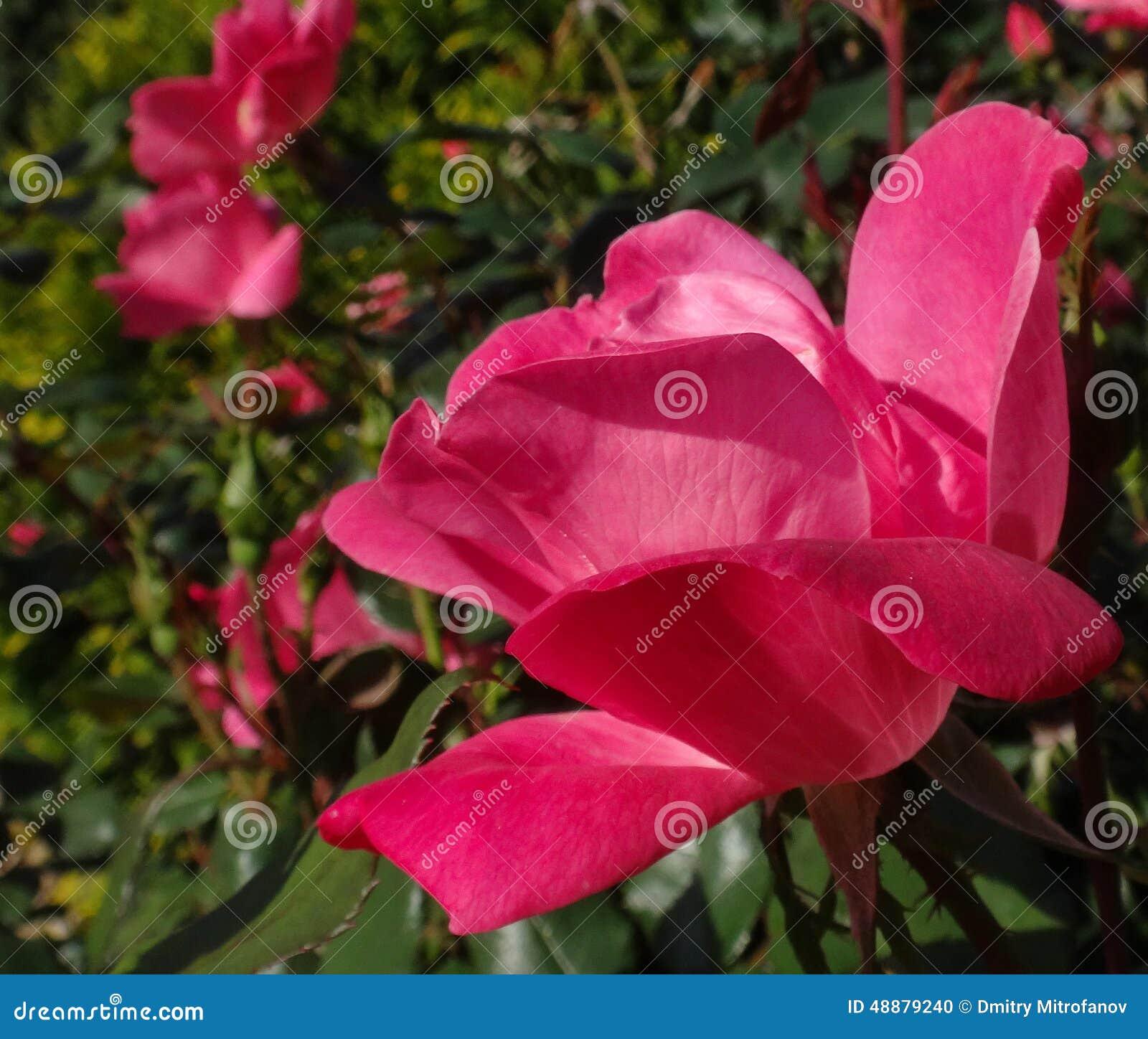 Wild rose flower of North Carolina.