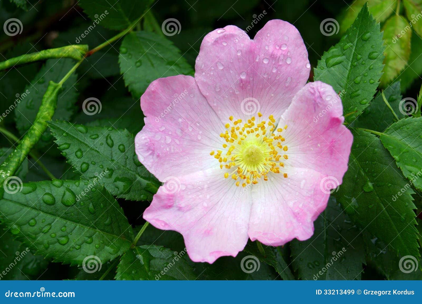 Wild Rose Royalty Free Stock Images - Image: 33213499