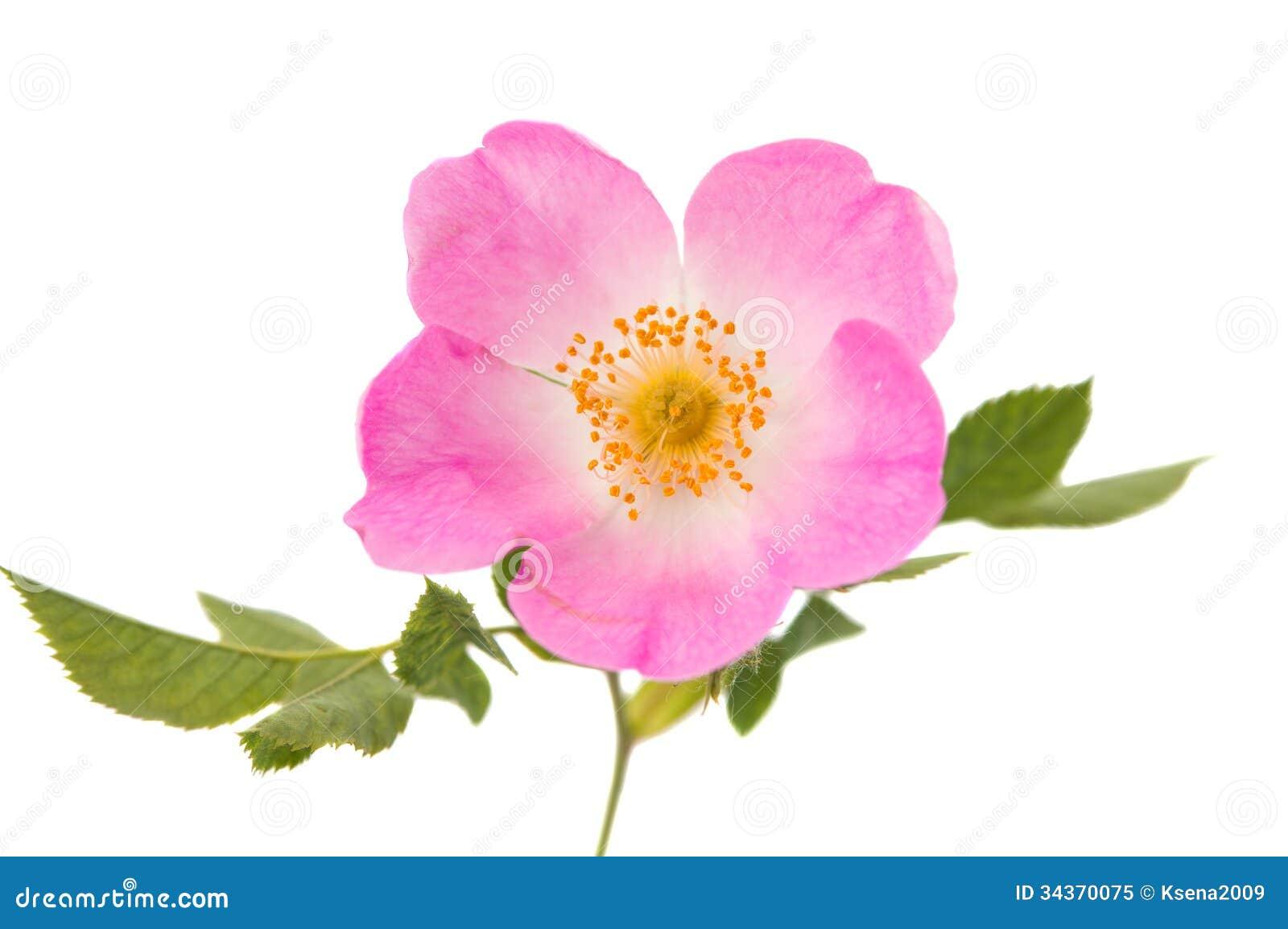 Wild Rose Flower Stock Image Image Of Closeup Medicine