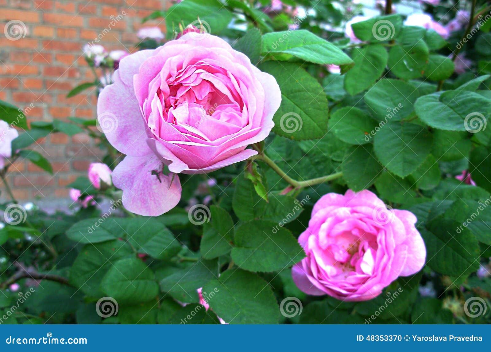 Wild Rose Stock Photo Image 48353370