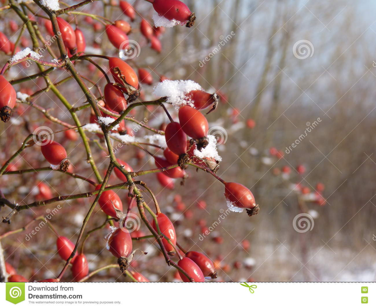 Wild Rose Red Berry Bush And Berries In Winter Red Rosehips In