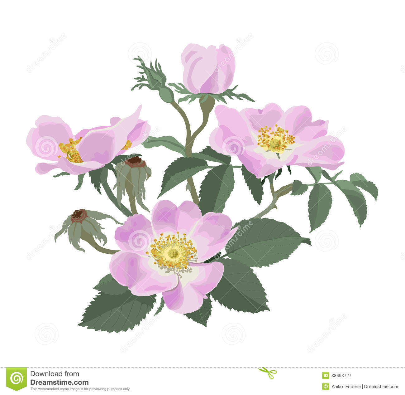 Hand Drawn Vector Illustration Of Pink Wild Roses On White Background