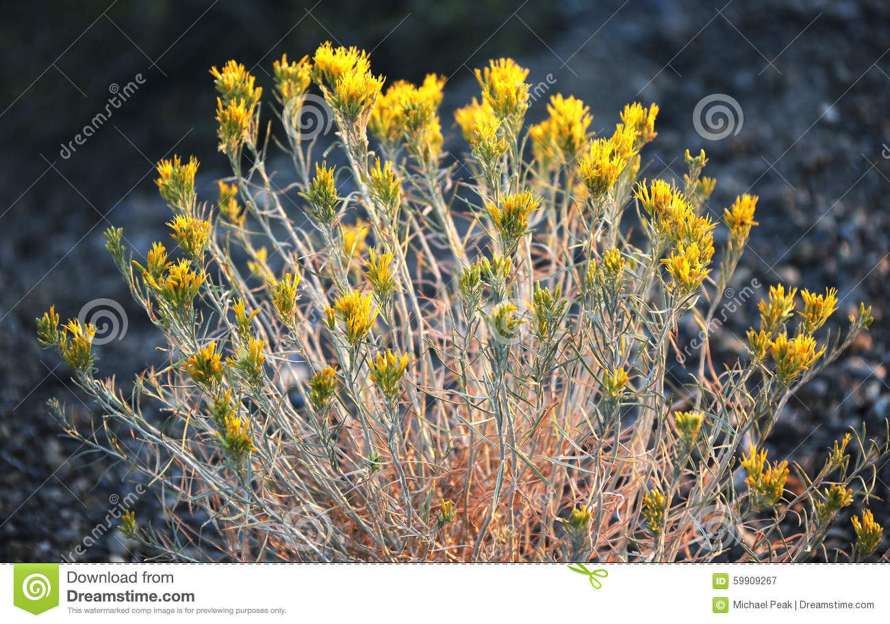 Wild Sage Yellow Flowers Sierra Nevada Mountains Stock Photo