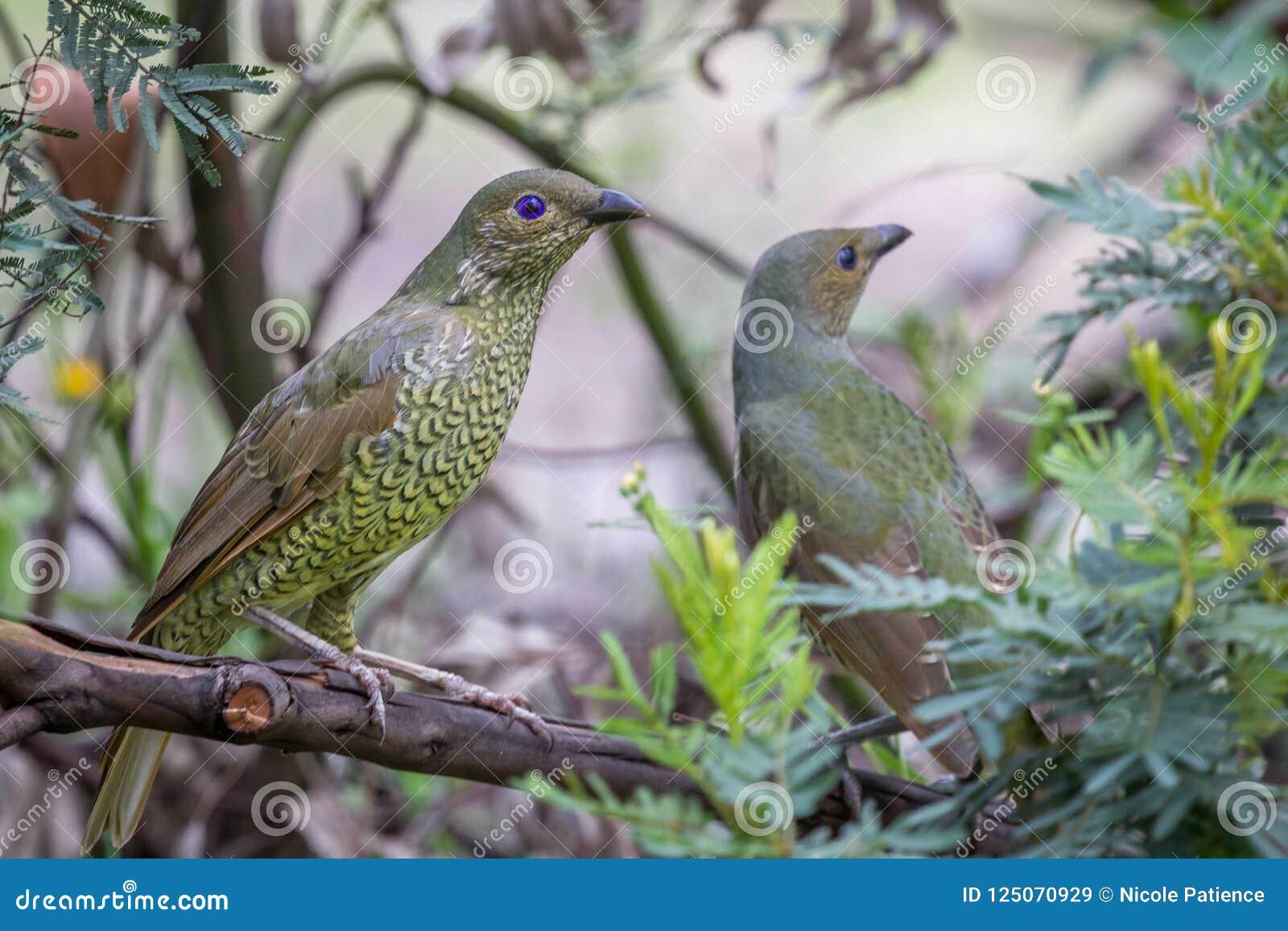 Wild Satin Bower Bird, Queen Mary Falls, Queensland, Australia, March 2018