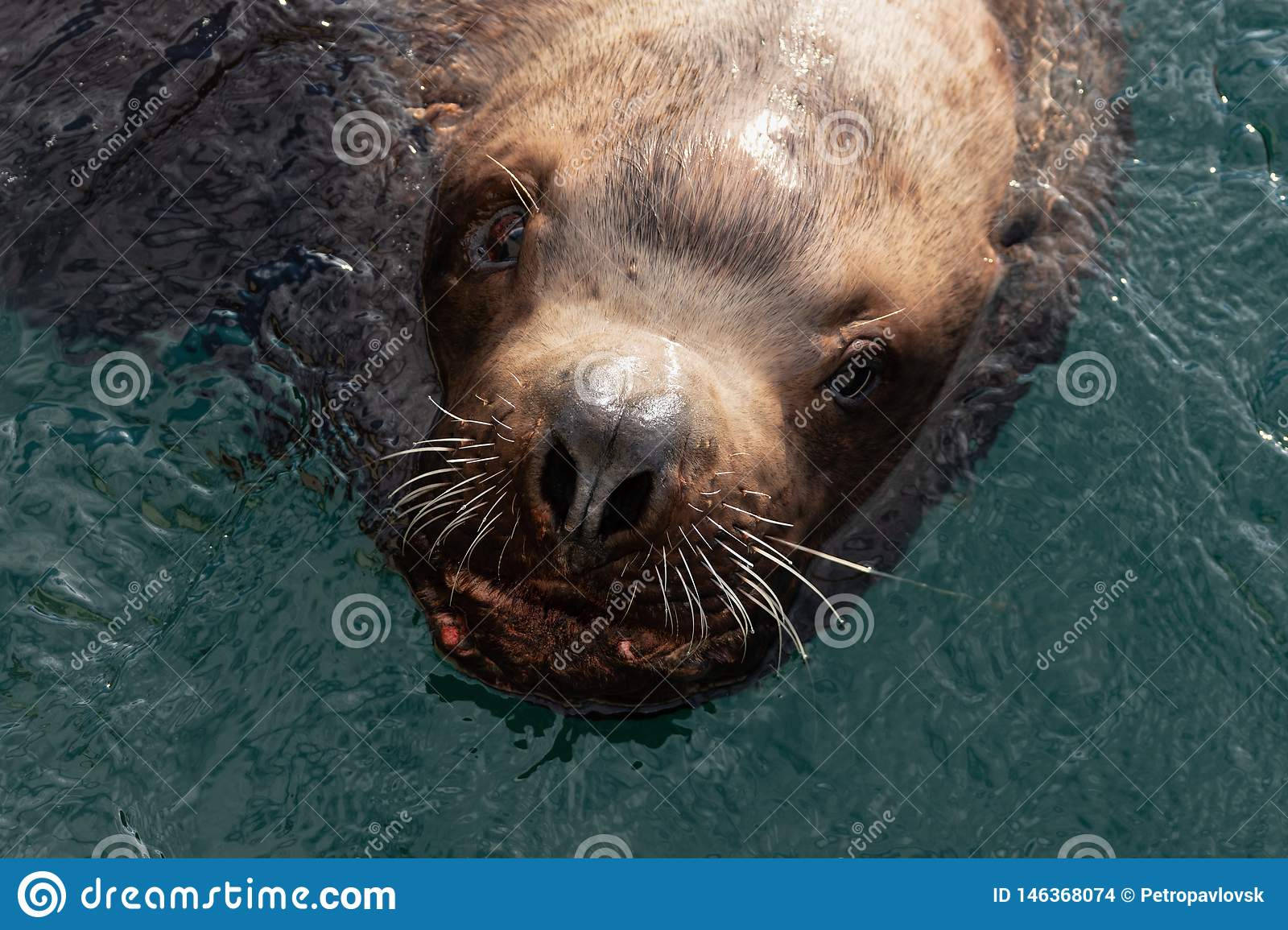 Wild sea mammal animal Steller Sea Lion swims in cold water Pacific Ocean