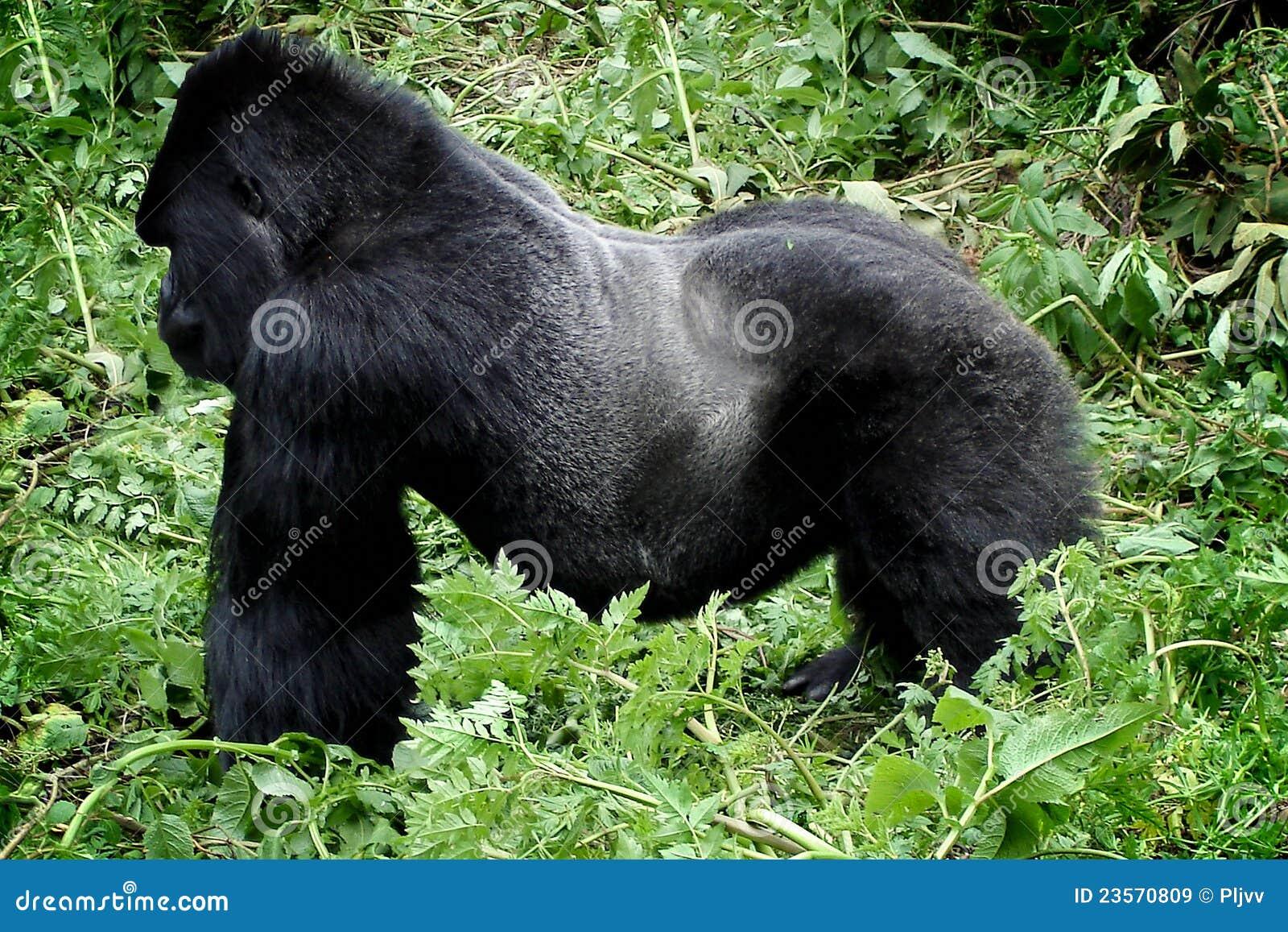 Wild Silverback Mountain Gorilla Royalty Free Stock Images