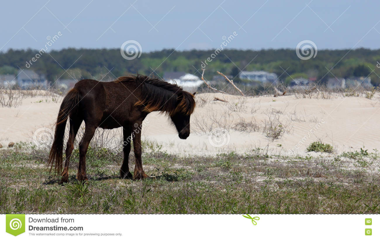 Wild Spanish mustangs of Shackleford Banks North Carolina