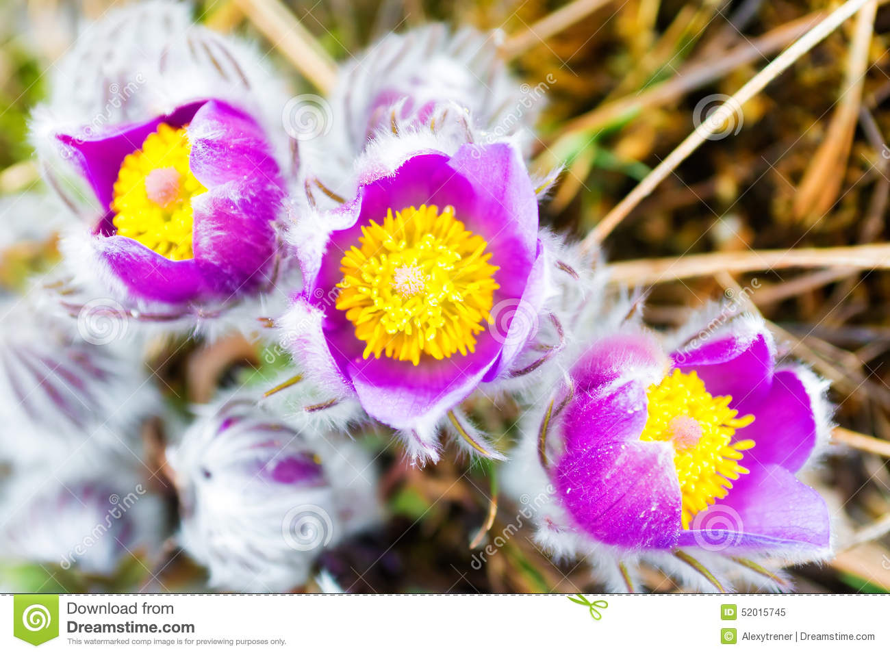 Wild spring flowers pulsatilla patens stock image image of macro wild spring flowers pulsatilla patens flowering plant in family ranunculaceae native to europe russia mongolia china canada and united states mightylinksfo