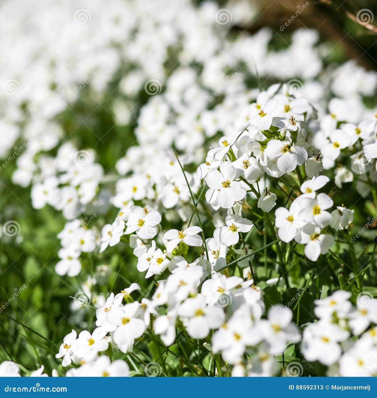 Wild spring little white flowers stock image image of invasive wild spring little white flowers mightylinksfo