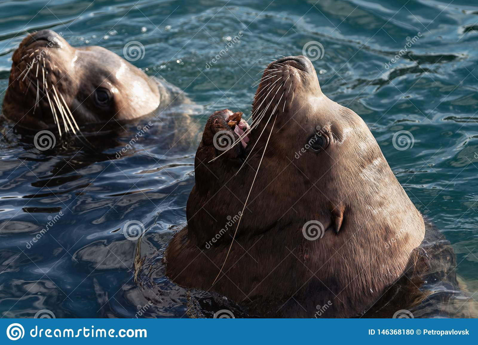Wild Steller Sea Lion Eumetopias Jubatus with open mouth and teeth fangs swims in cold waves Pacific Ocean