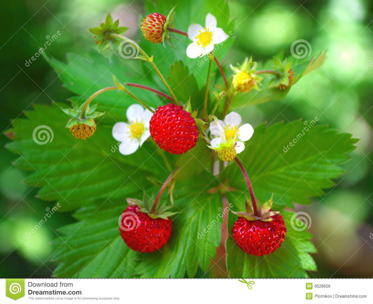 Wild strawberry with berries and flowers