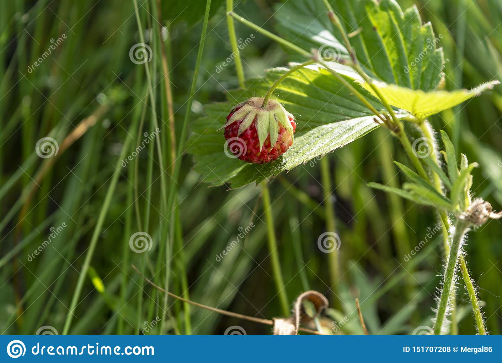 Wild strawberry berry growing in natural environment. Close-up