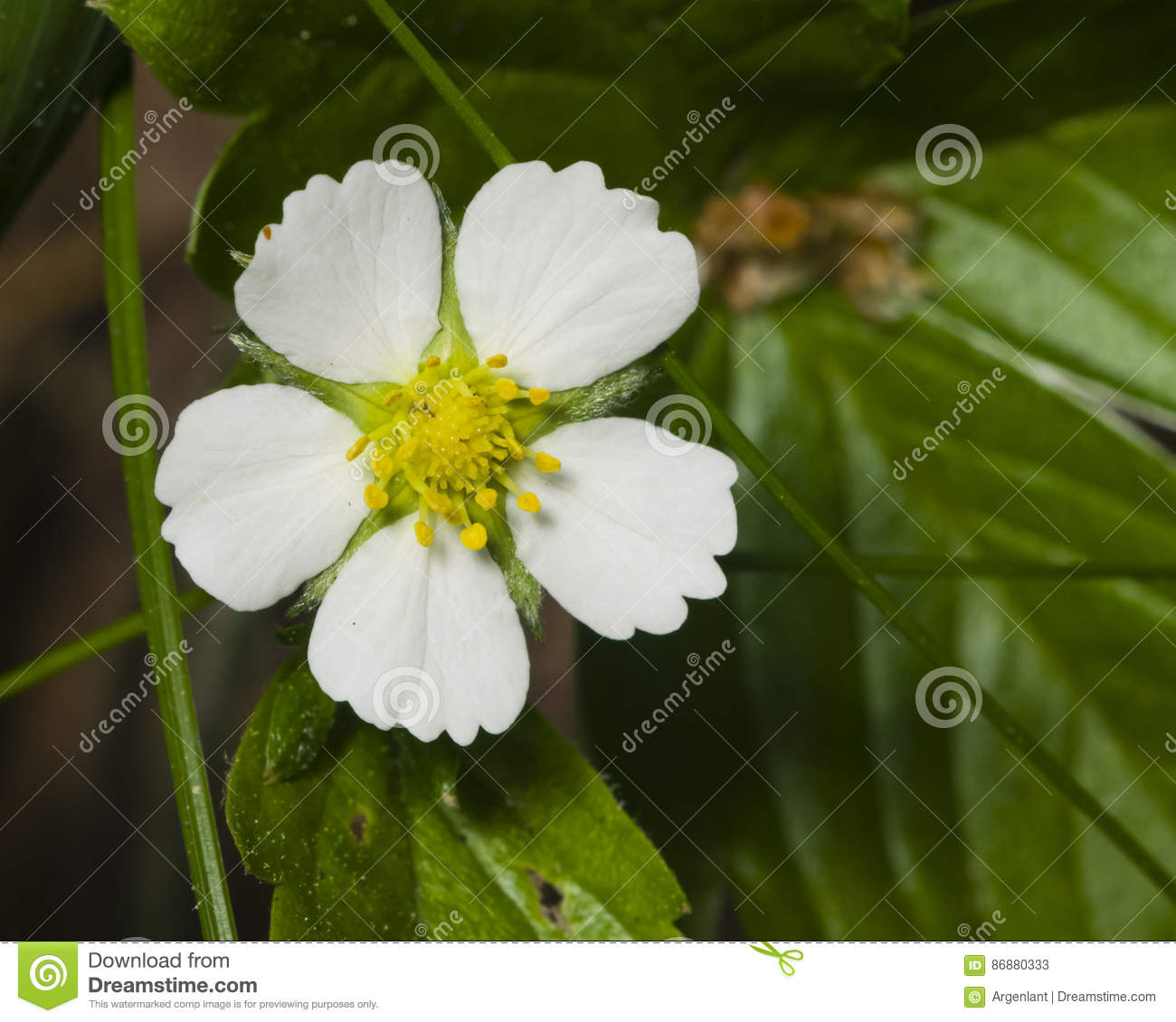 Wild Strawberry Flower With White Petals Close Up Selective Focus
