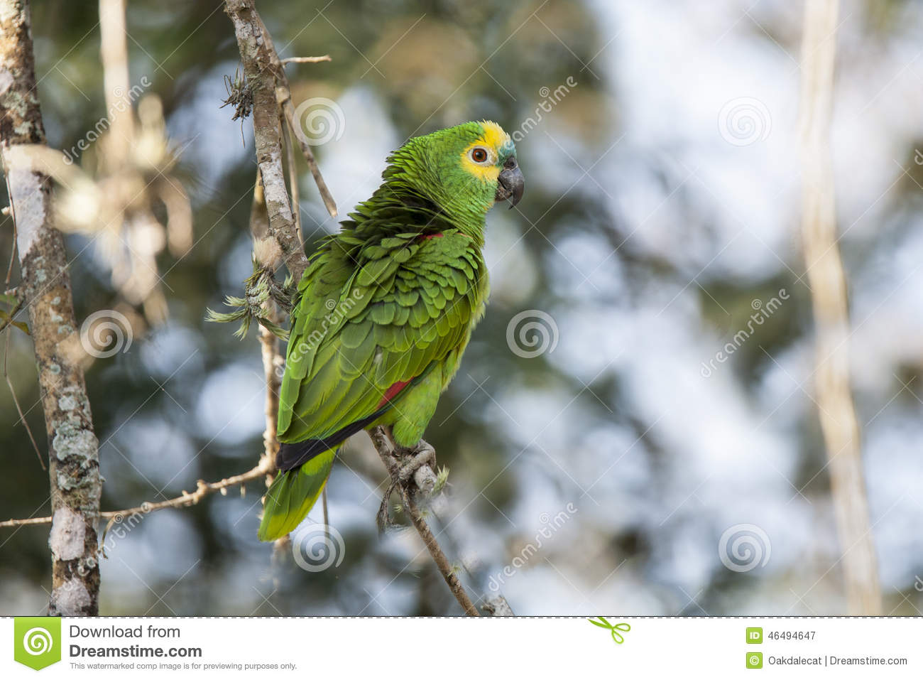 Wild Turquoise Blue Fronted Amazon Parrot With Ruffled Feathers