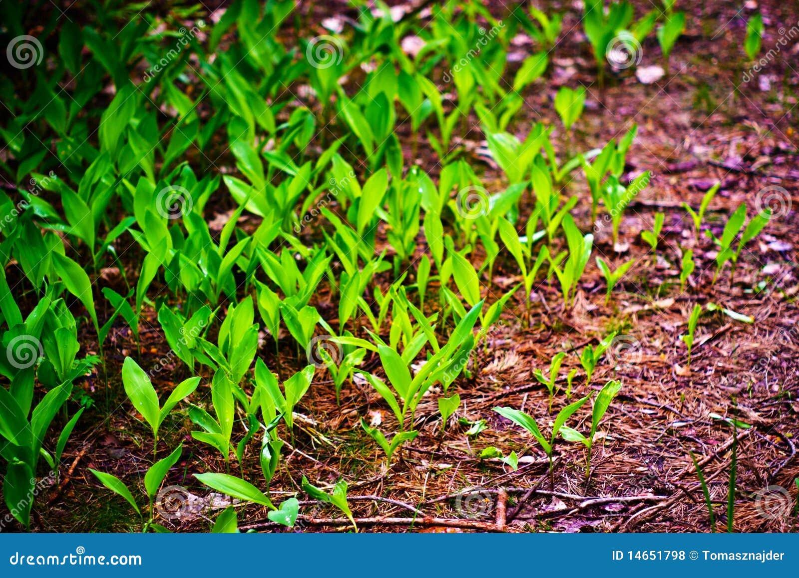 Wild växt