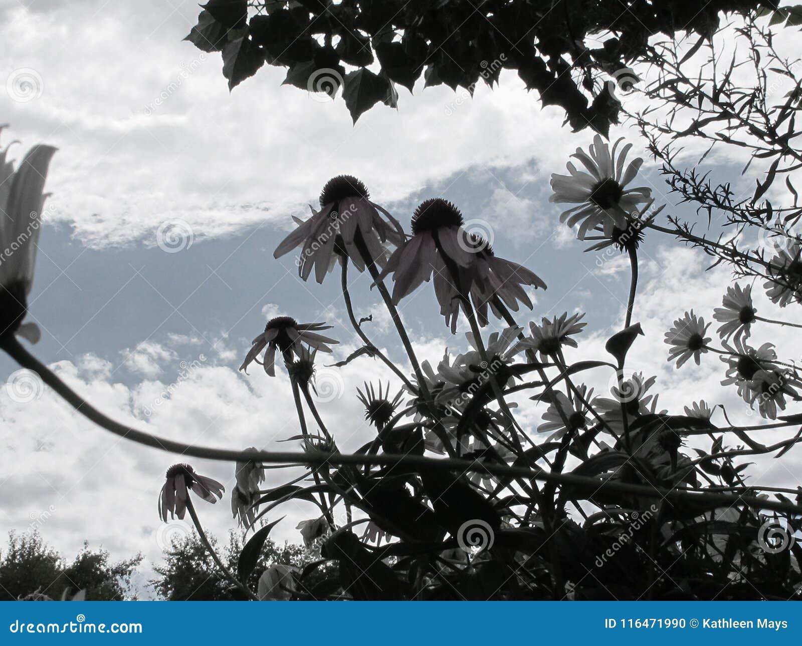 Wild van DE Saturated Bergmadeliefjes met Achtergrond van Hemel en Wolken