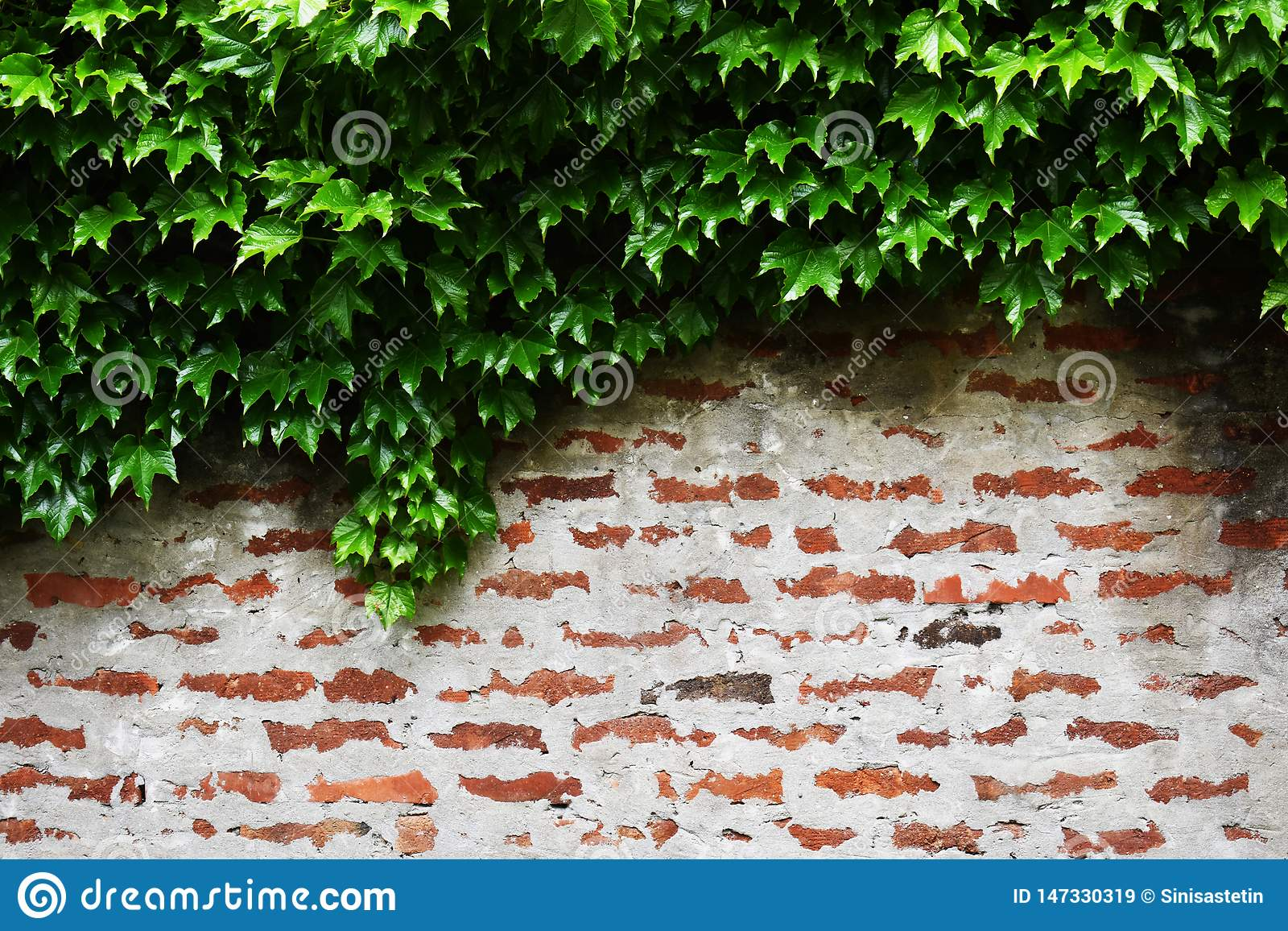Wild vine vegetation over top of red brick wall