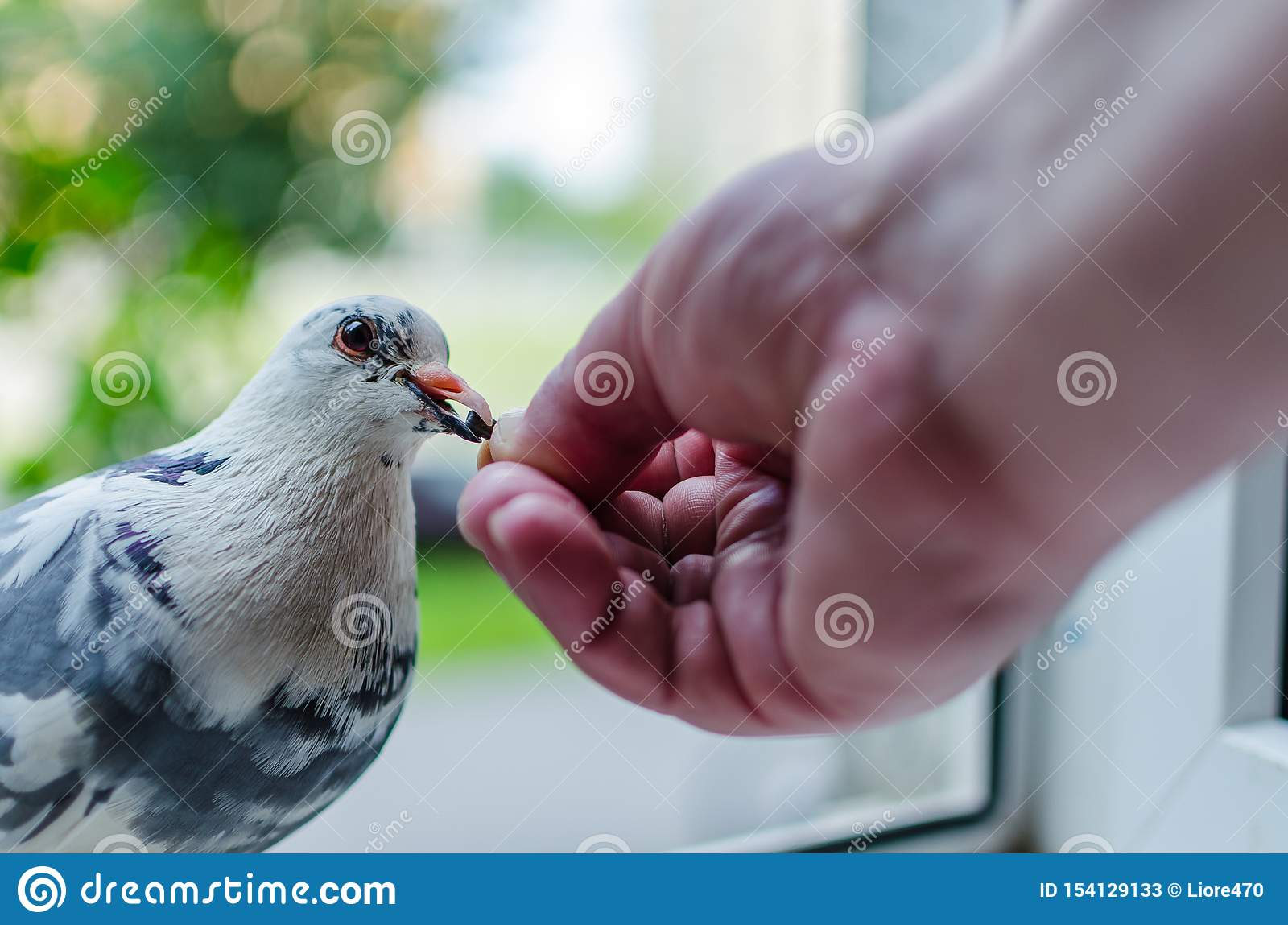 A wild white dove sits on the window and eats from the hands of man. Photo close up. The concept of trust, friendship and help