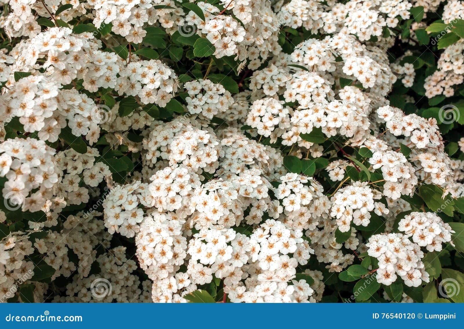 Wild white flower bushes stock photo image of green 76540120 wild white flower bushes mightylinksfo