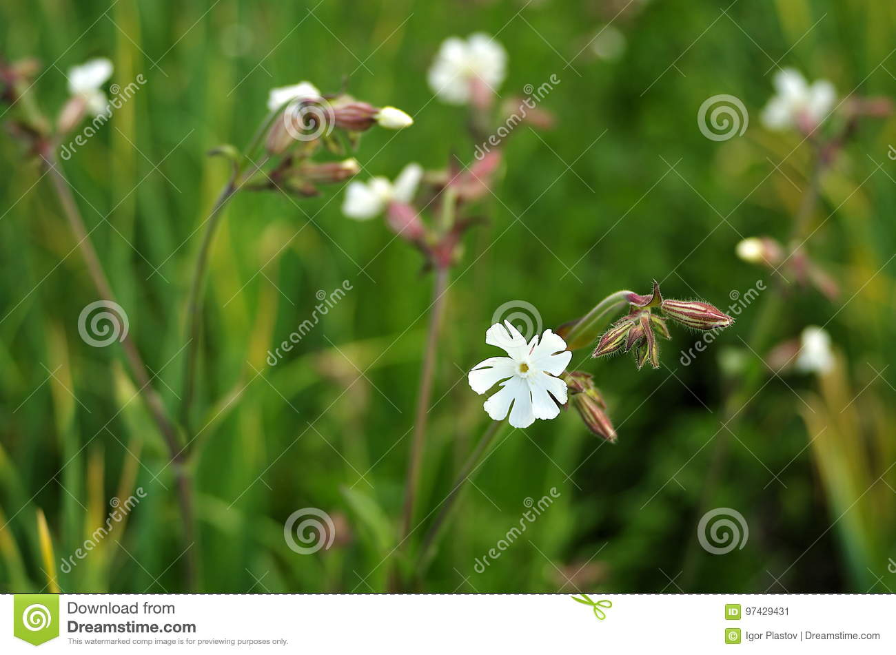 Wild White Flowers With Blurred Background Stock Image Image Of