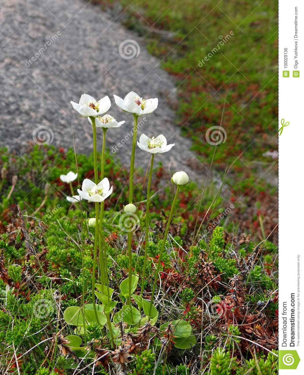 Wild White Flowers Among Green Moss Stock Photo Image Of Islands
