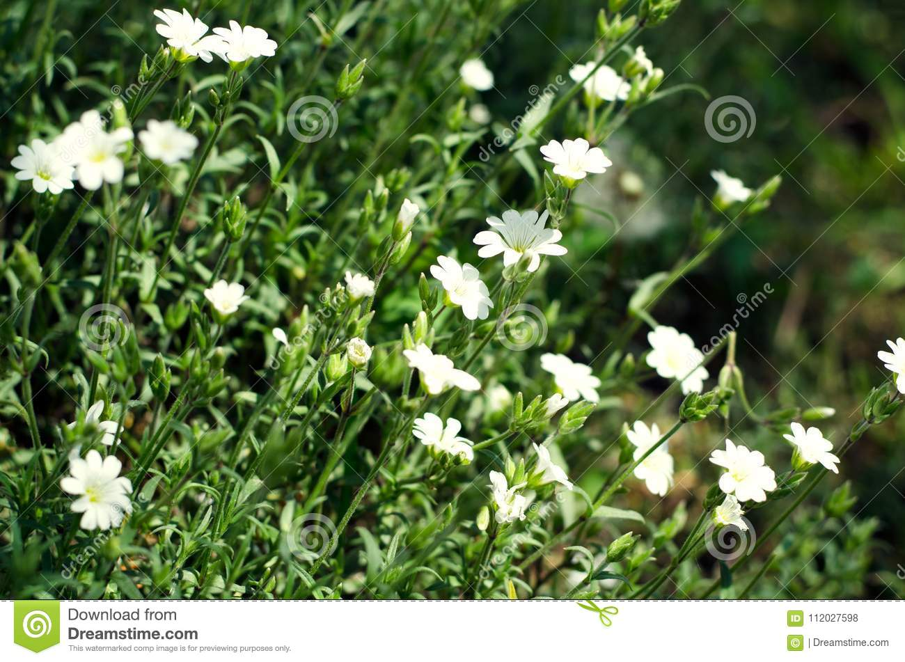Wild White Flowers On A Meadow In Summer Stock Photo Image Of