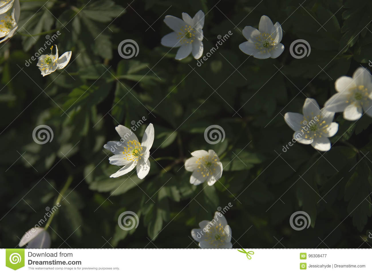 Wood Anemones In Spring Stock Image Image Of Floral 96308477