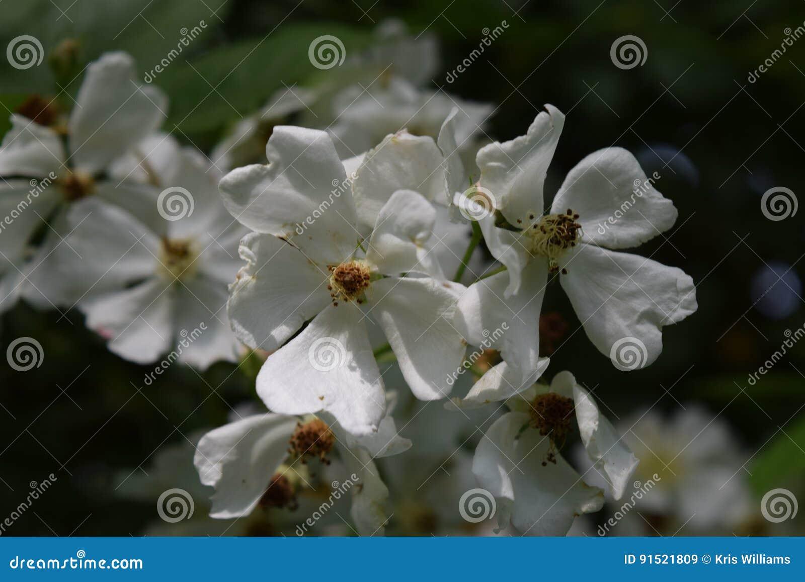 Wild white rambling roses in garden