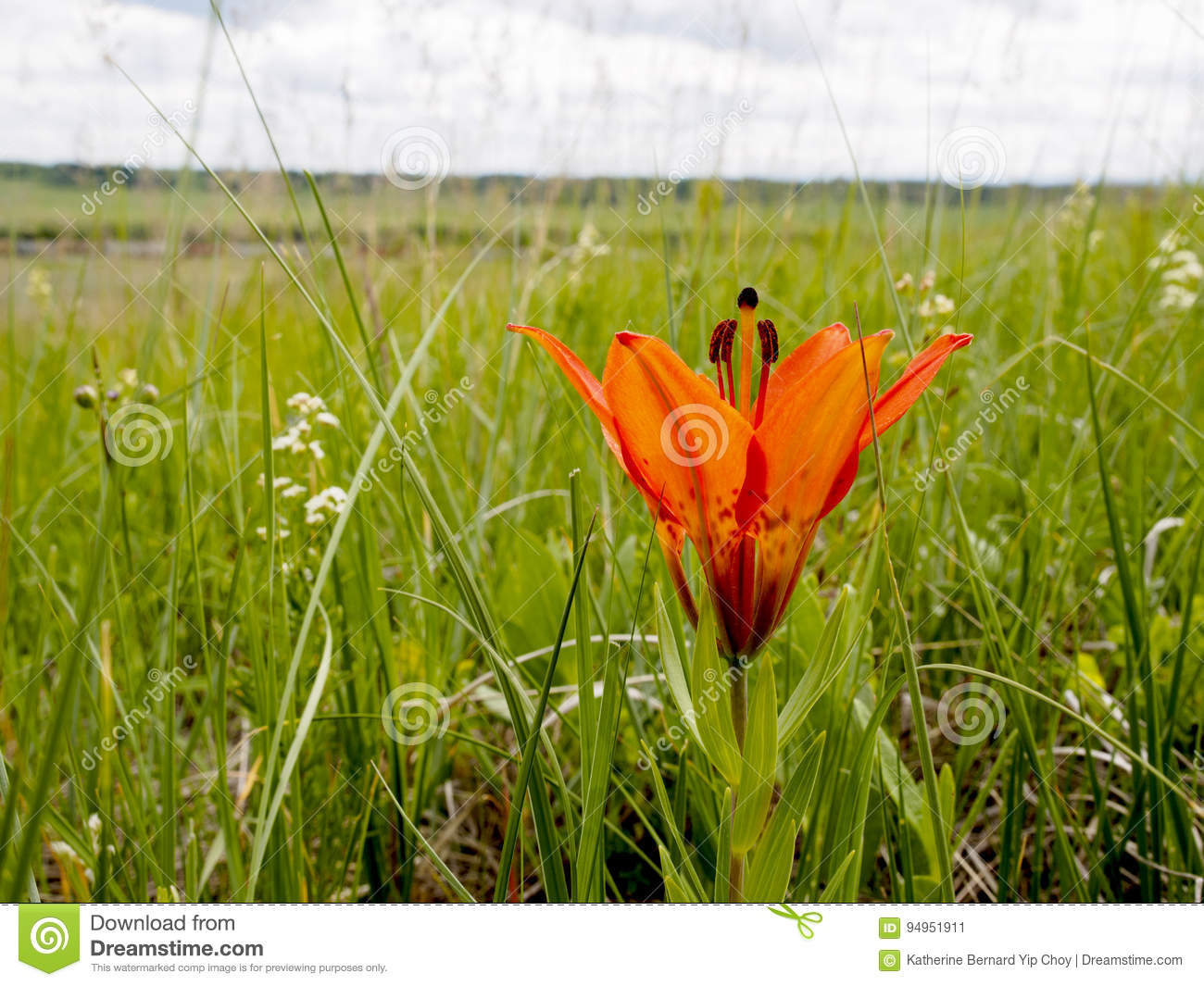 Wild Wood Lily Flower In The Grasslands On The Alberta Plains Stock